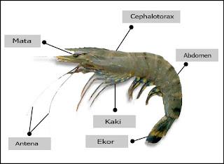 Klasifikasi dan Morfologi Udang Windu (Penaeus monodon)