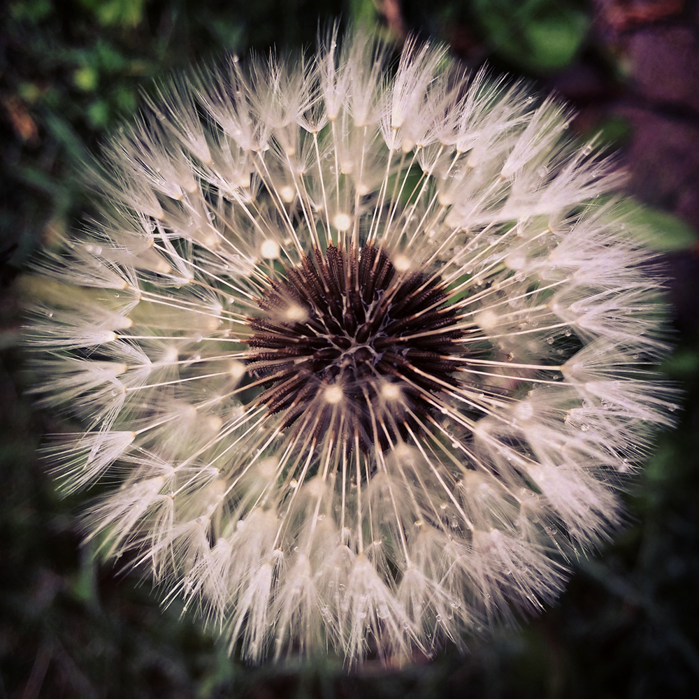 Dandelion in the drizzle