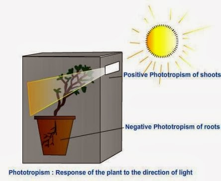 Phototropism - Response of the plant to the direction of light