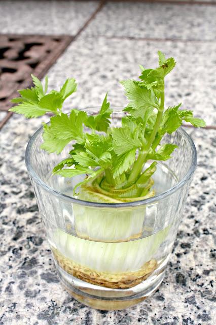 celery scrap growing celery