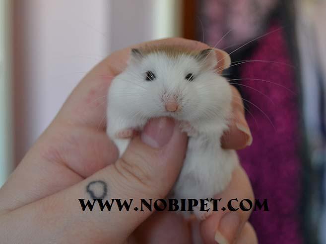 cac-dong-chuot-canh-hamster-dang-ban-tai-nobipet-shop-da-nang-3