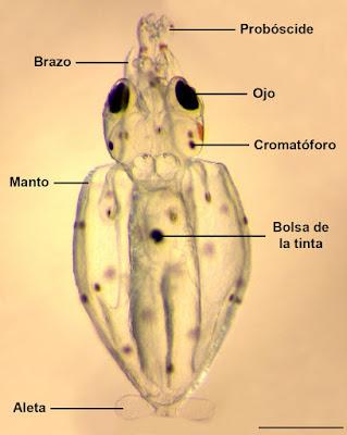 Paralarva de Ommastrephidae  © CALOCEAN