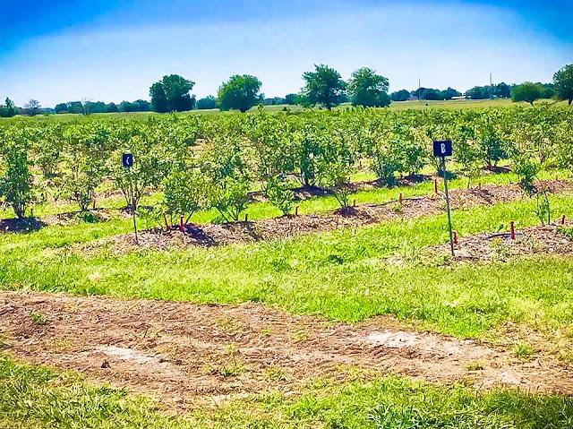 Thunderbird Farm blueberry picking Broken Arrow, OK
