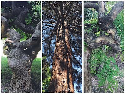 sofora ağacı, mamut ağacı