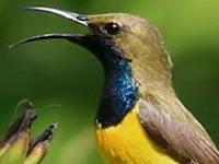 Cara Melatih Sogok Ontong/ Kolibri Agar Mau Makan Kroto Sendiri