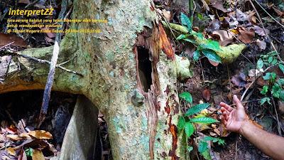 Gambar pokok sarang kelulut dibongkar oleh beruang di Taman Negara Kuala Tahan di Malaysia