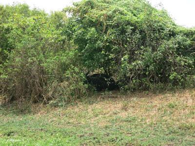 water buffalo under tree