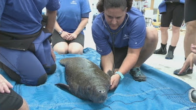 manatees rescued florida