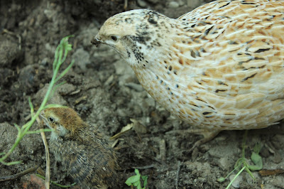 organic coturnix quail and her chick