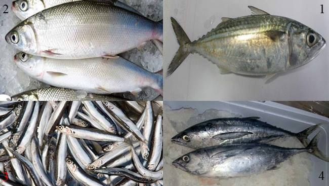 Jenis Jenis Ikan Air Tawar Yang Sering Di Konsumsi Oleh Masyarakat Indonesia Beserta Gambarnya Yusufilham