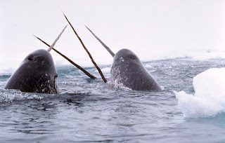 Narwhal 18