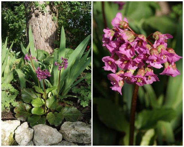 Bergenie und Iris unter Schwarzkiefer gepflanzt