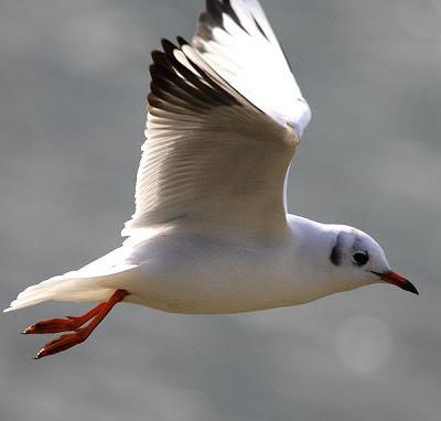 Gaviota reidora en vuelo