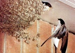 Resultado de imaxes para golondrinas en el balcón