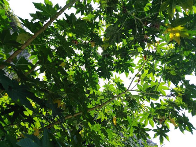 Chioma Ricinus communis
