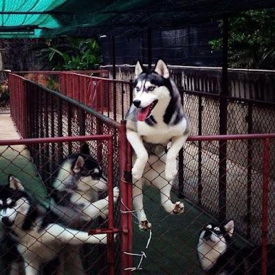 Naughty Siberian Huskies Escape