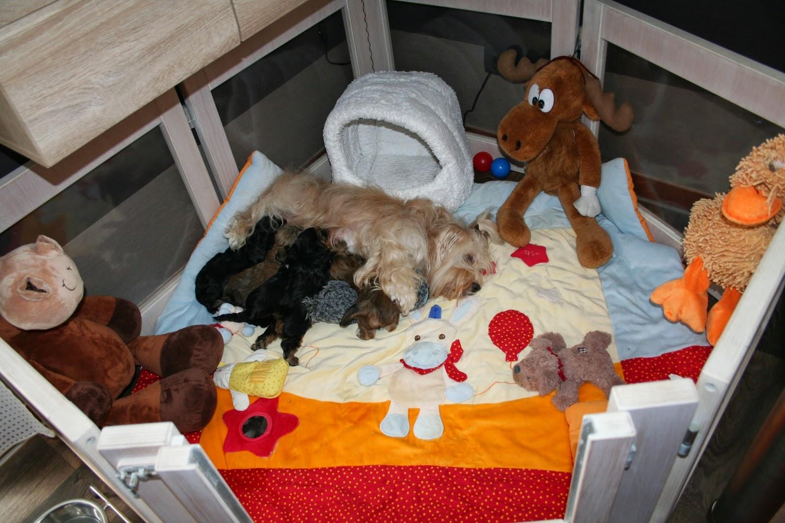 Havaneser Welpen - familiäre Hausaufzucht der Havaneser Welpen im VDH FCI liebevolle  Havaneser Mutterhündin