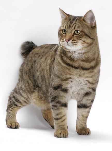 American Bobtail cats/kittens
