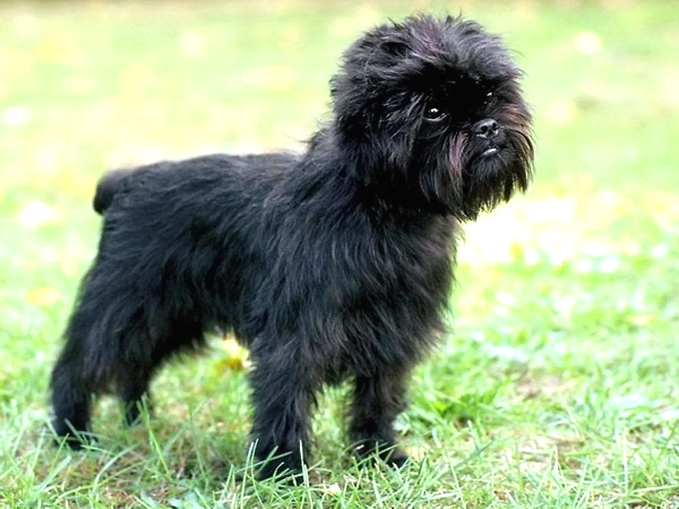 adopt a pet  Cão Affenpinscher