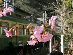 御霊神社の河津桜