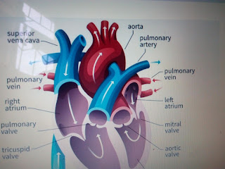 the heart and transportation system in man