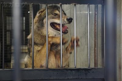 檻を引っ掻くタイリクオオカミ