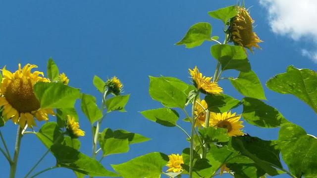 Sonnenblumen und Summerfeeling www.nanawhatelse.at