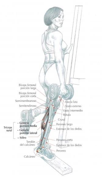 Musculos implicados en la elevación de talón con mancuerna