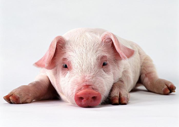 baixar som porco ronco