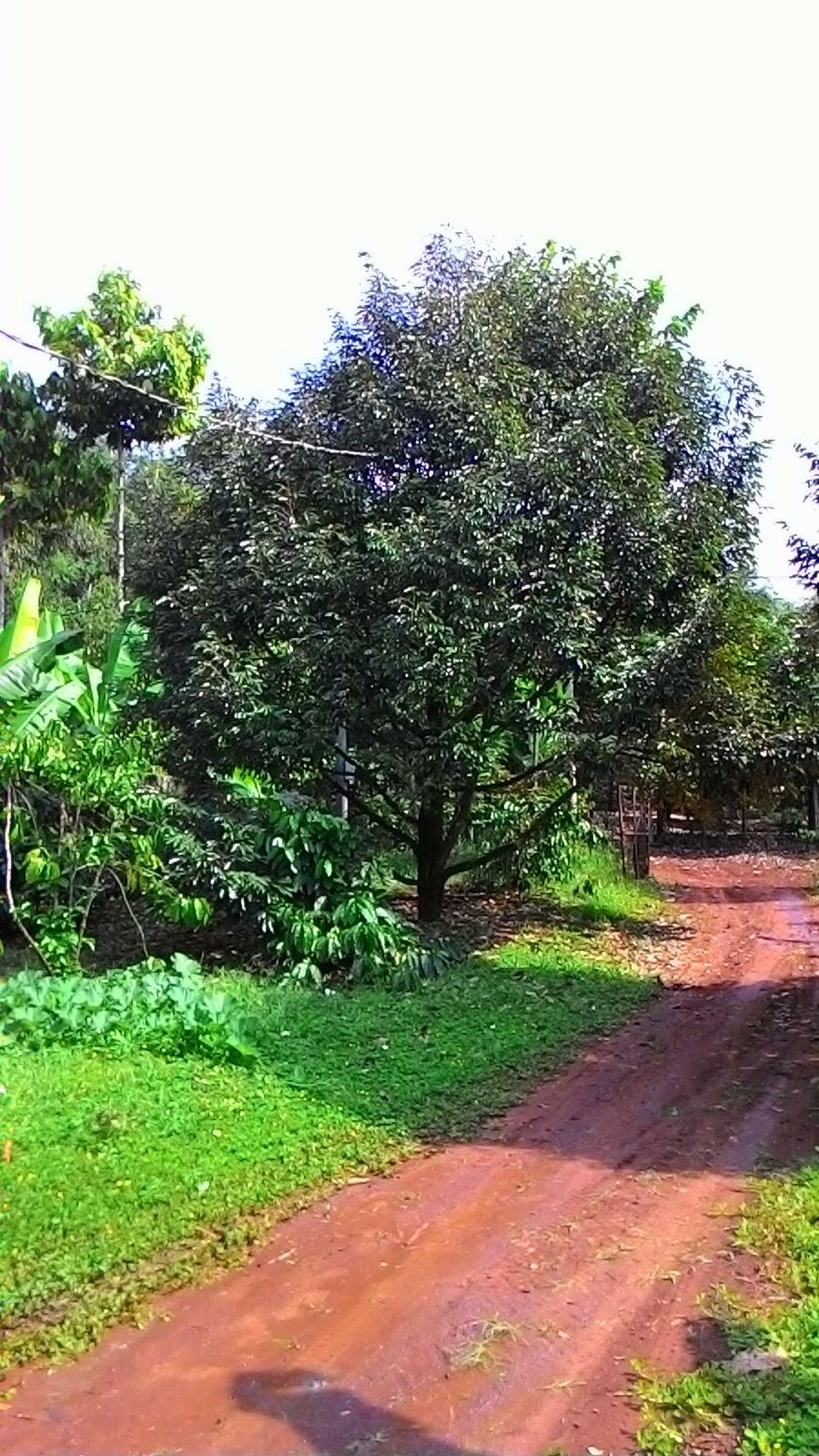 Góc vườn nhà bên - dự tính hình thành trang trại sinh thái