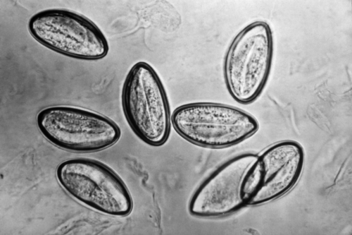 Enterobiosis fórum anyák - Féregfertőzések