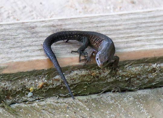 Jaszczurka żyworodna, żyworódka (Zootoca vivipara) - osobnik melanotyczny