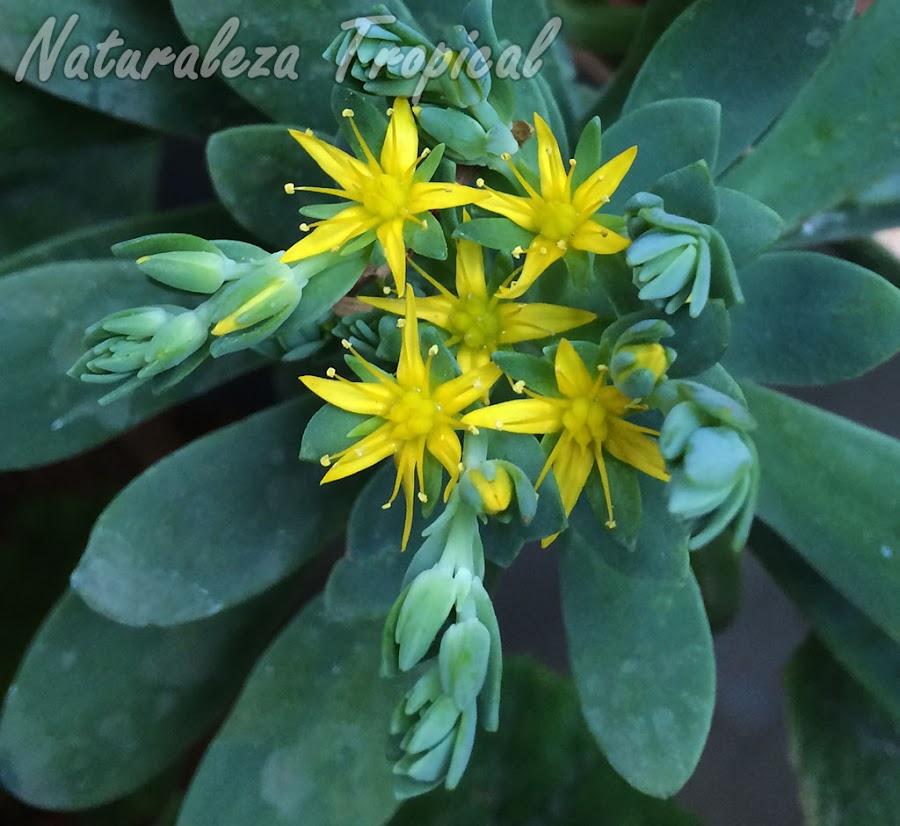 Flores de la planta suculenta Sedum palmeri