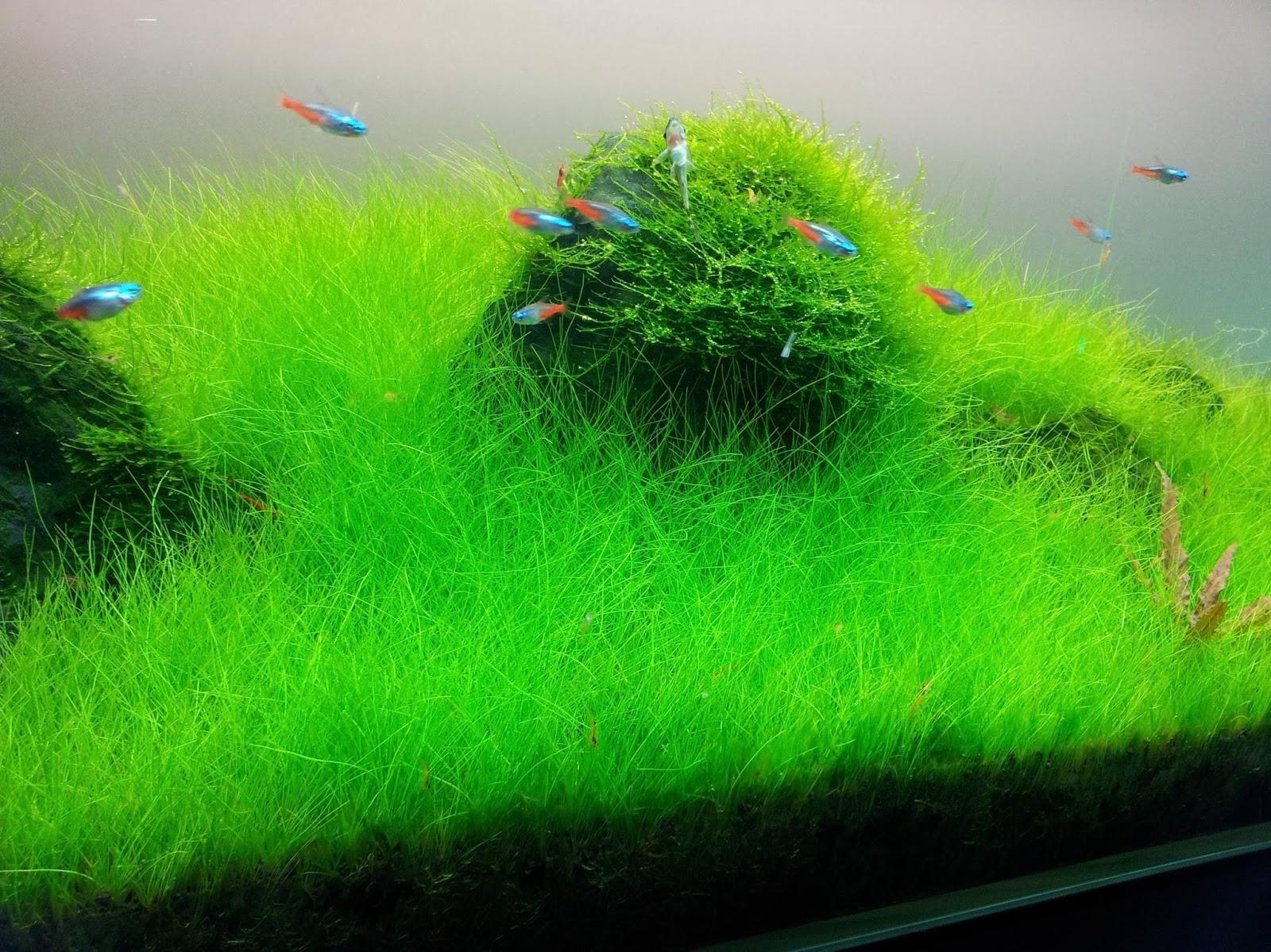Hair Grass | FishandAqua