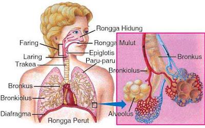 Organ-Organ Pernapasan Pada Manusia