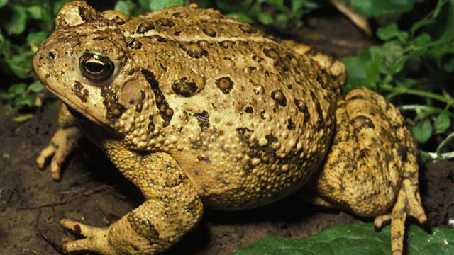 Research Shows Frog and Toad Populations Declining at an Alarming Rate