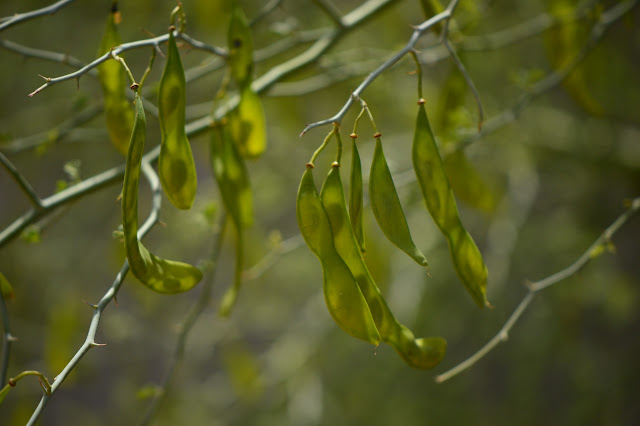 Parkinsonia florida seedpods