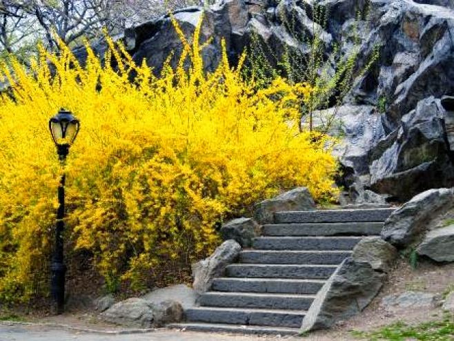Forsythia in full yellow bloom