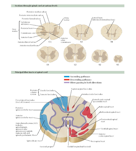 Spinal Cord Cross Sections: Fiber Tracts Anatomy