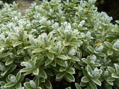 Hebe sutherlandii Love your garden in winter Evergreens Green Fingered Blog
