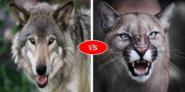 Gray wolf vs Cougar Puma