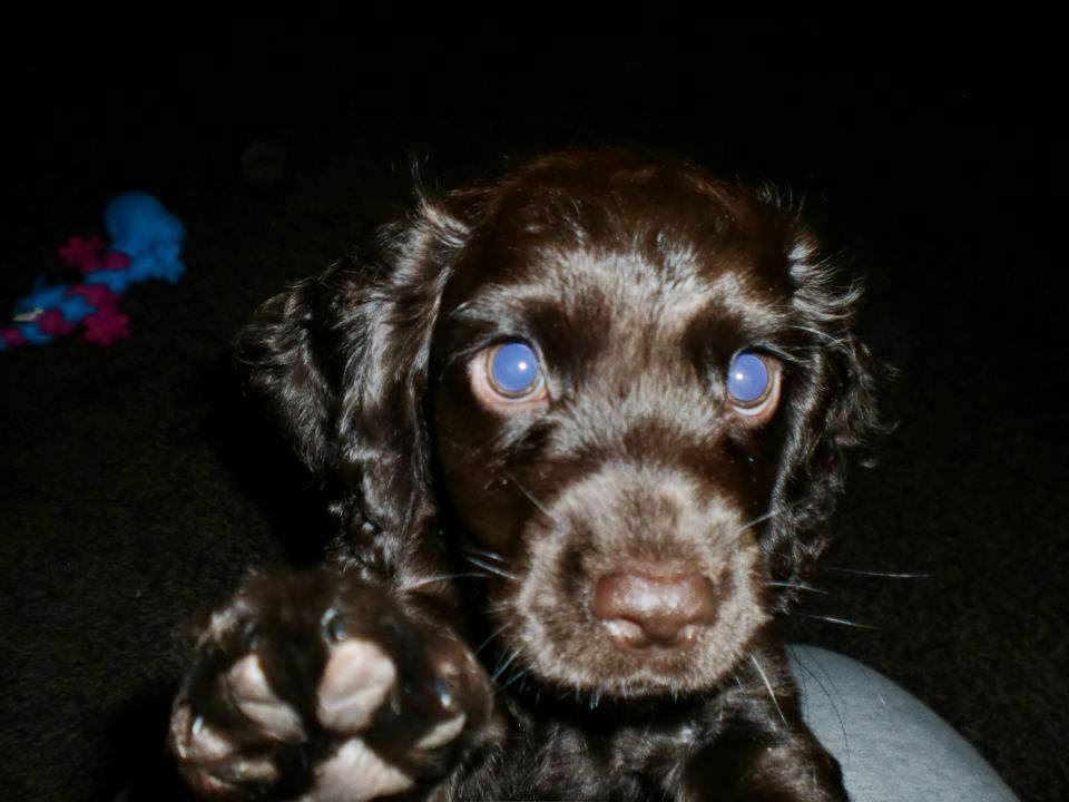 brown-cocker-spaniel-puppy