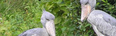 Uganda birding safaris, Uganda tours, tours in Uganda