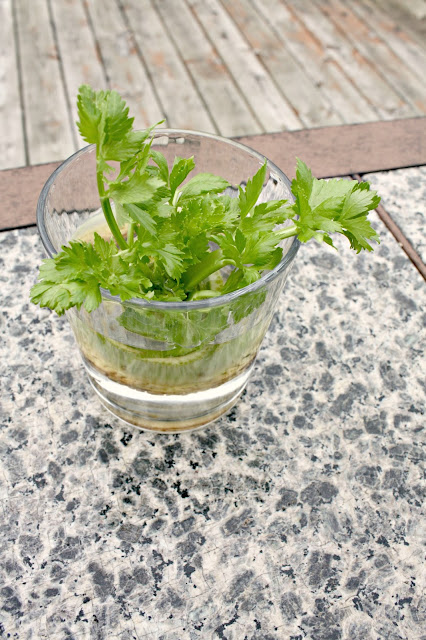 Growing celery in water from scraps