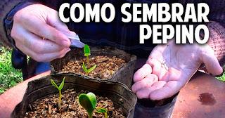 Pepinos en conserva con fermentación natural, facil y saludable - 5