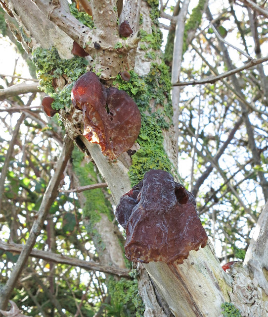 Jew's Ear / Jelly Ear / Auricularia auricula-judae as it withers, extends and dies.