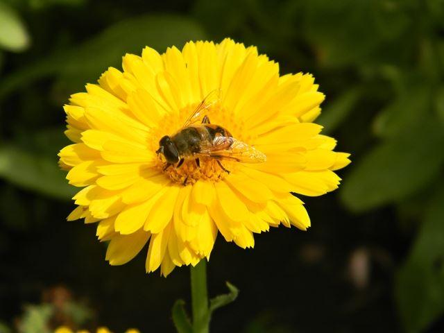 pszczoła, kwiat, ogród, koło domu