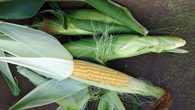 無事収穫が出来たトウモロコシ