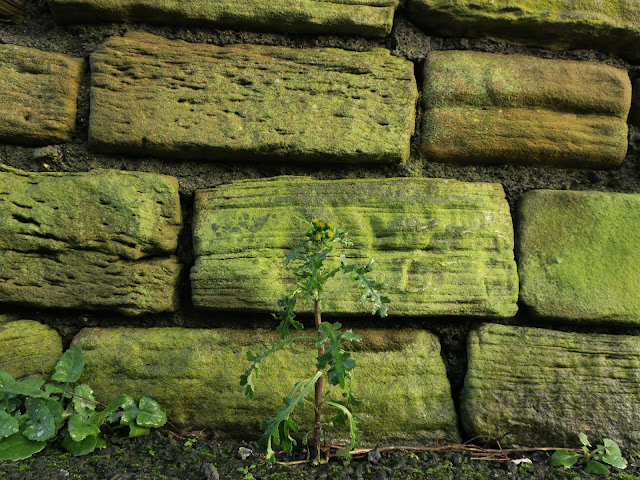 Groundsel in front of a wall. West Yorkshire.