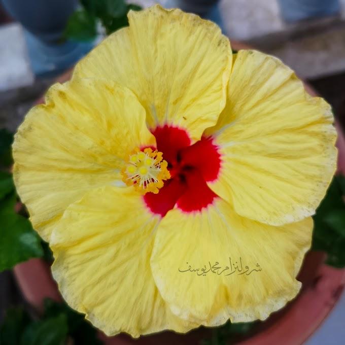 Hawaiian Hibiscus, Bunga Raya Kuning Di Laman Bonda